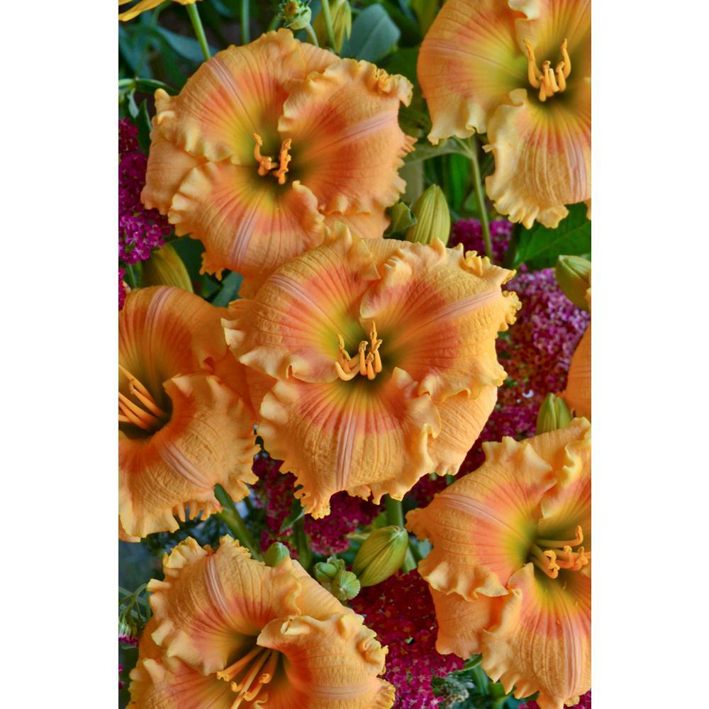 4.5 in. Qt. Rainbow Rhythm Light Orange Flowers Orange Smoothie Daylily (Hemerocallis) Live Plant