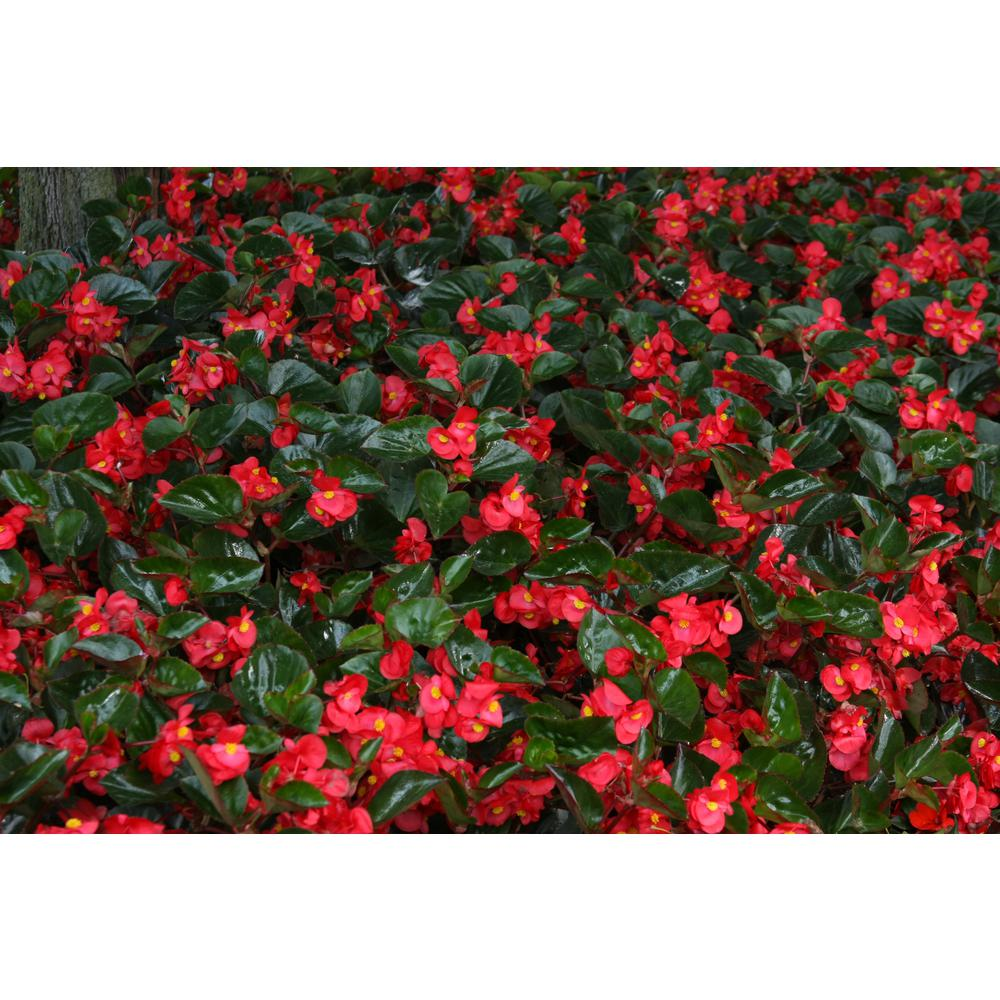 Proven Winners 4 Pack 4 25 In Grande Surefire Red Begonia Live