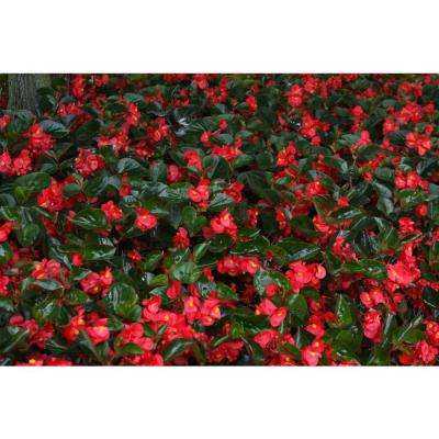 Surefire Red (Begonia) Live Plant, Red Flowers, 4.25 in. Grande, 4-pack