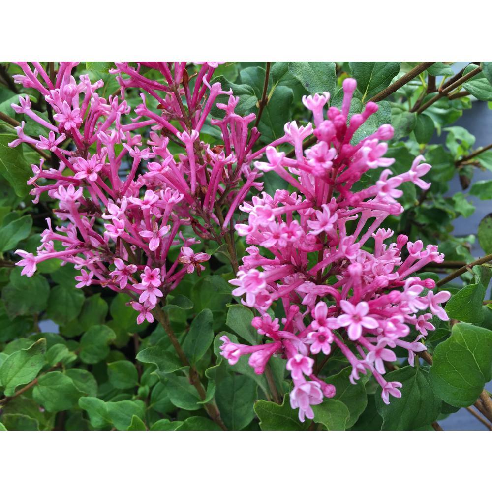Proven Winners 1 Gal Bloomerang Dwarf Pink Reblooming Lilac
