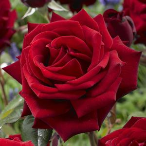 mea nursery fragrant red mister lincoln rose 62014 the home depot