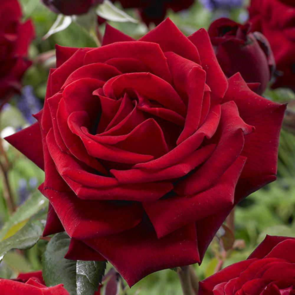 FRAGRANT Red Mister Lincoln Rose