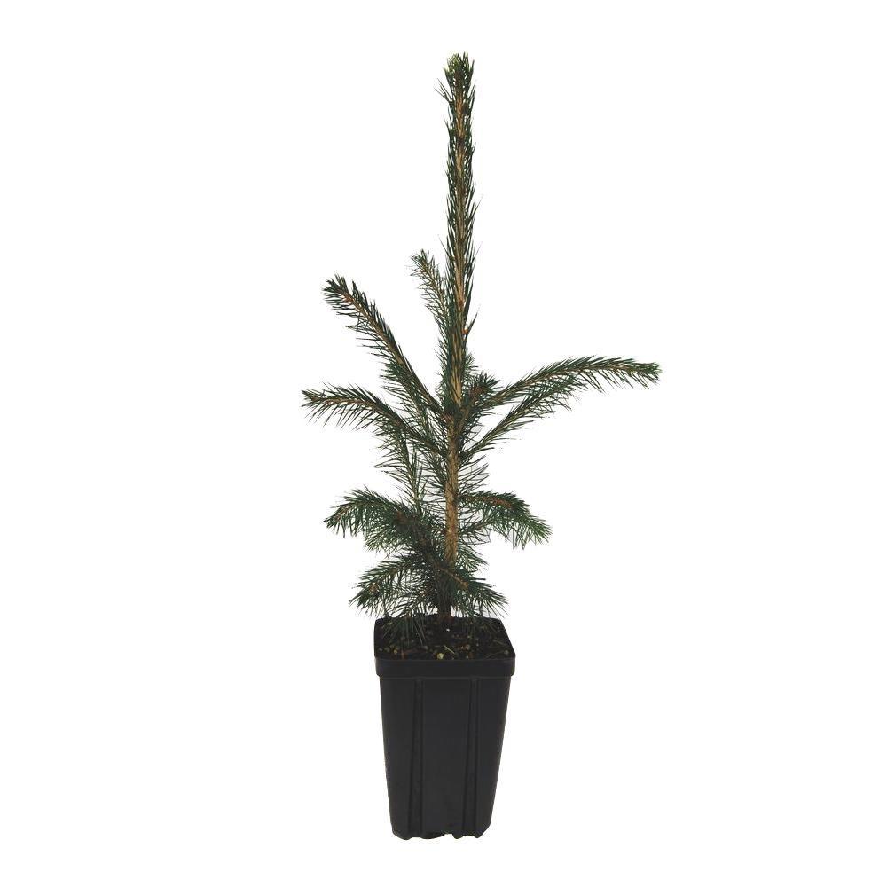 evergreen nursery white spruce potted evergreen tree sprwhiaqt