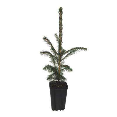 White Spruce Potted Evergreen Tree