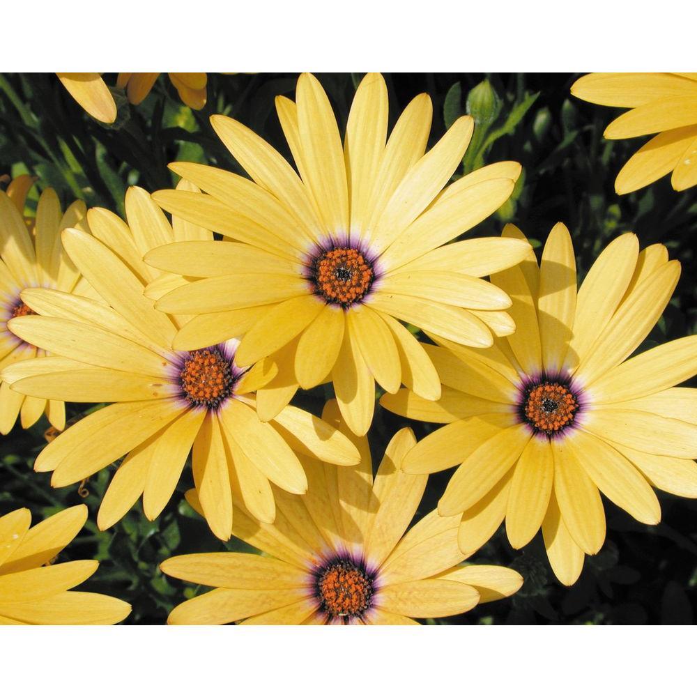 Yellow daisy annuals garden plants flowers the home depot lemon symphony osteospermum live plant yellow flowers mightylinksfo