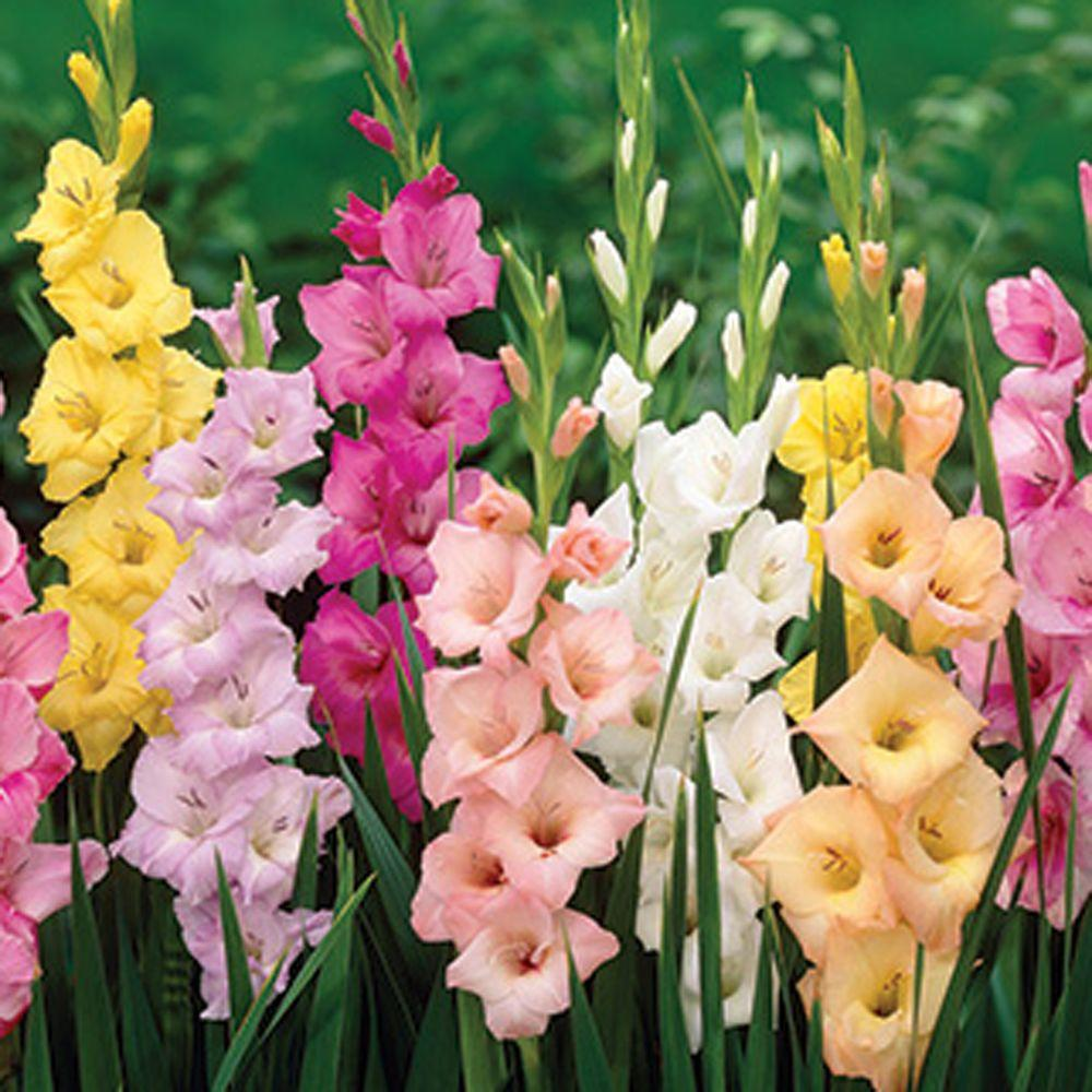 null Gladiolus Pastel Mix Dormant Bulbs (55-Pack)