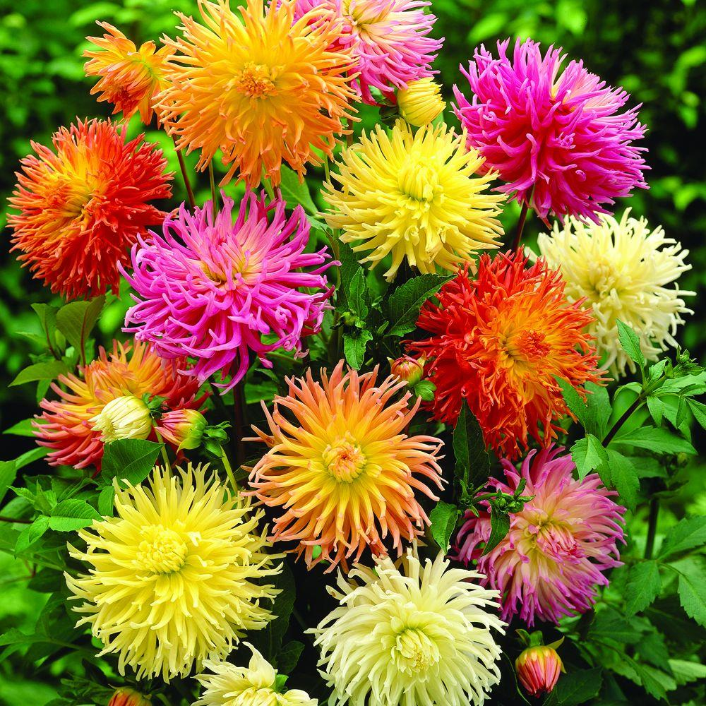 null Dahlia Cactus Mixed Dormant Tubers (8-Pack)-DISCONTINUED