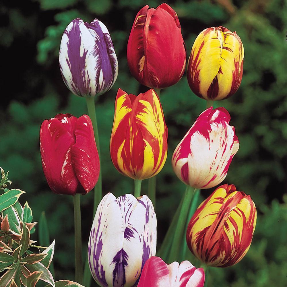 Rembrandt Multicolor Tulip Bulbs Mixture (10-Pack)
