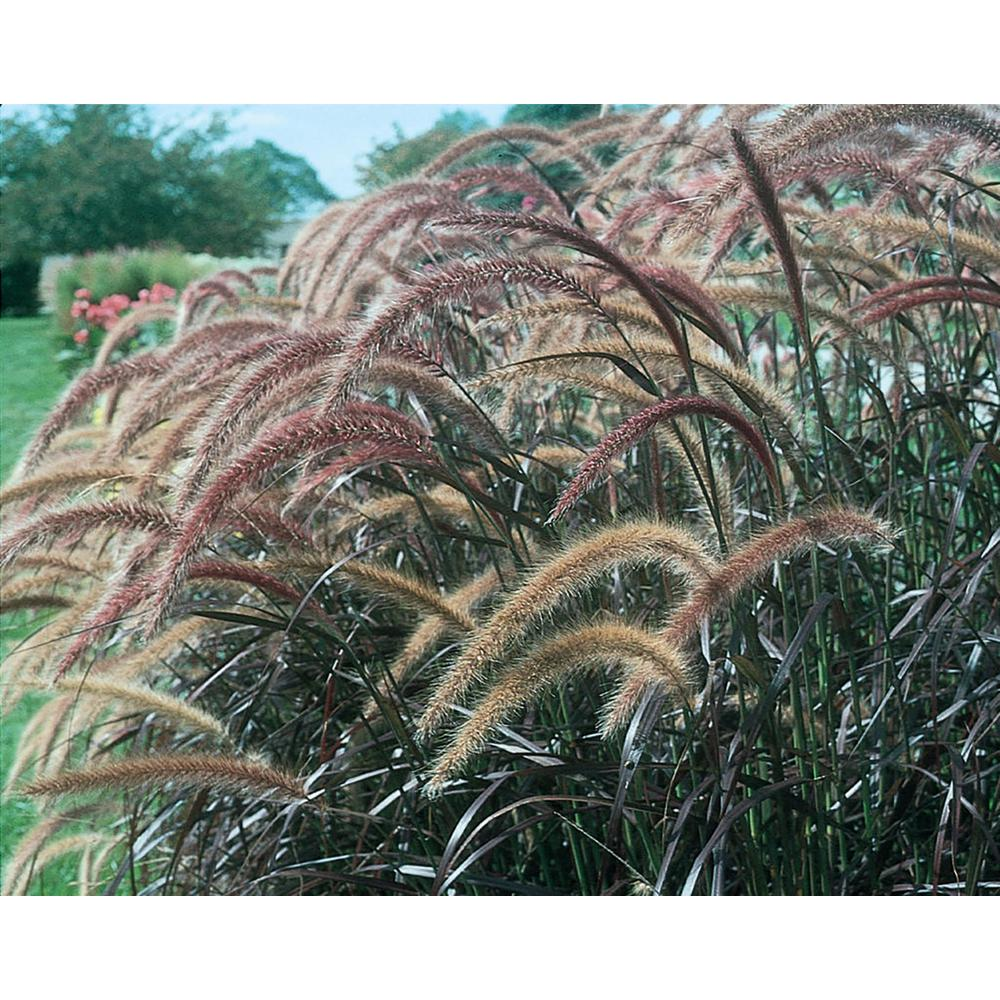 Graceful Grasses Purple Fountain Grass (Pennisetum) Live Plant, Bronze-Purple