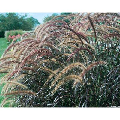 Graceful Grasses Purple Fountain Grass (Pennisetum) Live Plant, Bronze-Purple Foliage, 4.5 in. Qt.