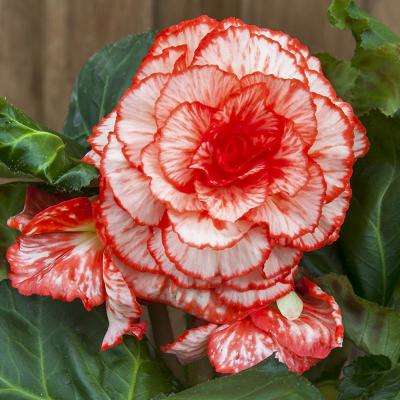 Marmorata Begonia Bulbs (3-Pack)