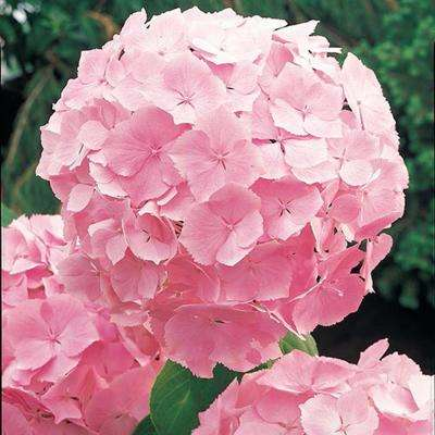 4 In. Pot Forever & Ever Pink Hydrangea, Live Deciduous Plant, Pink Flower (1-Pack)