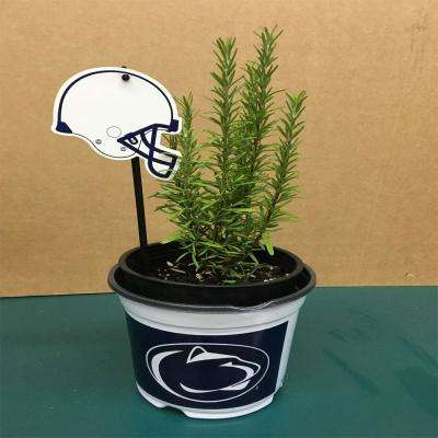 Barbecue Rosemary Herb Plant and a Penn State University Pot