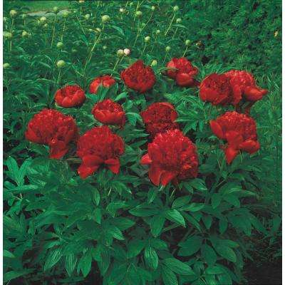 Red perennials garden plants flowers the home depot felix supreme peony paeonia red flowering perennial live bareroot plant mightylinksfo