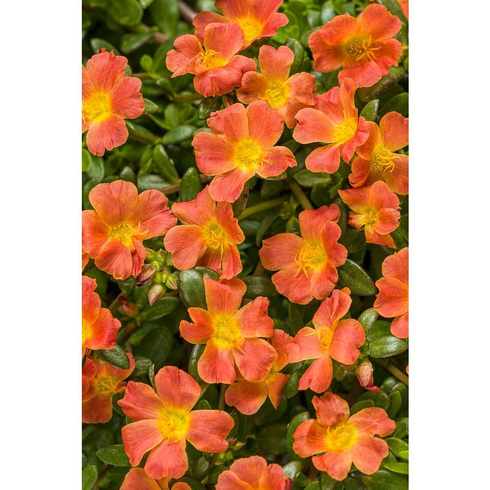 Proven Winners Mojave Tangerine Moss Rose Portulaca Live Plant