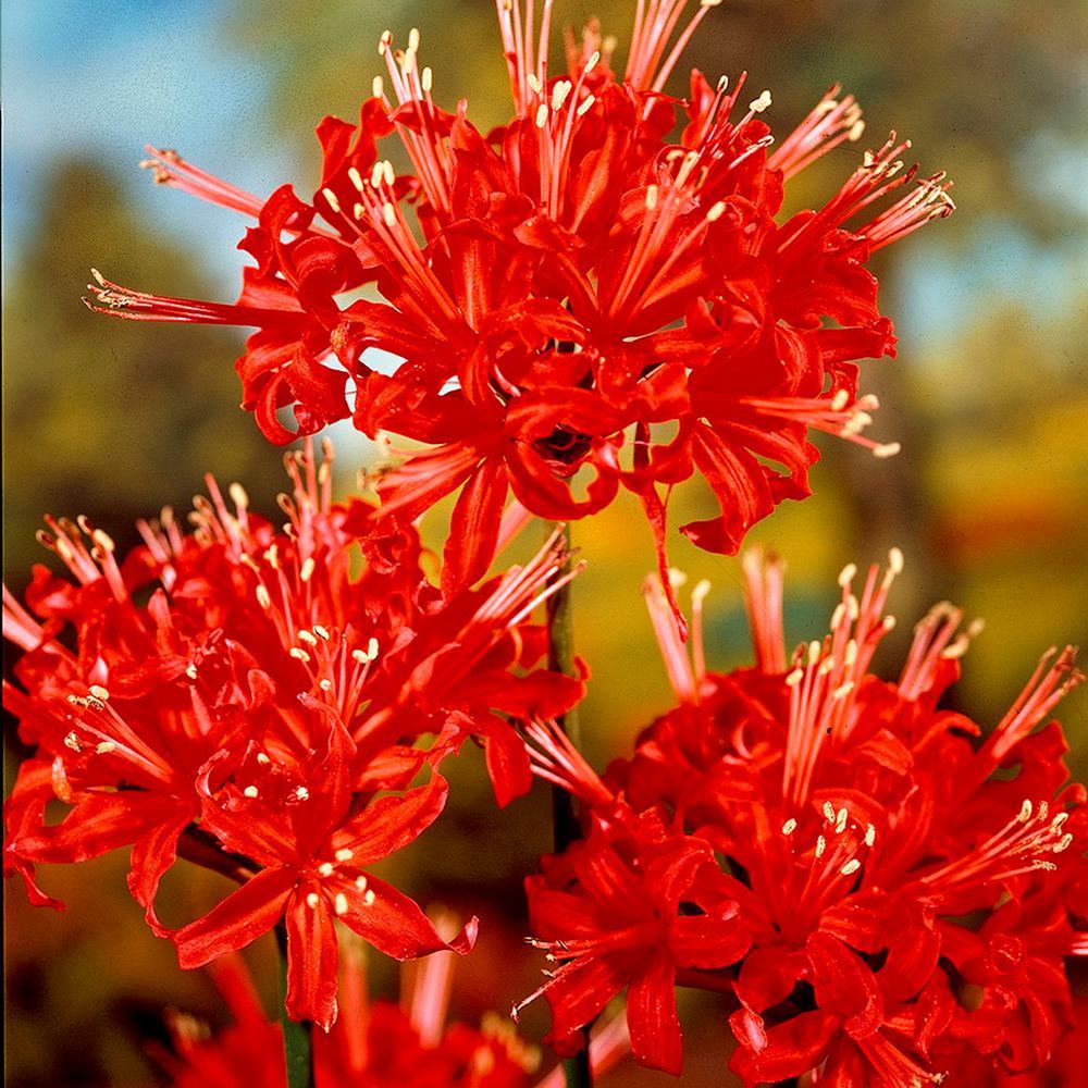 Summer Flower Bulbs Garden Plants Flowers The Home Depot