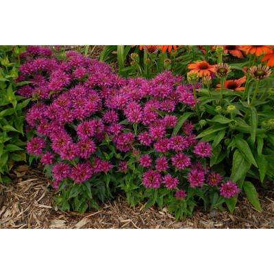 Pardon My Purple Bee Balm (Monarda) Live Plant, Purple Flowers, 0.65 Gal.