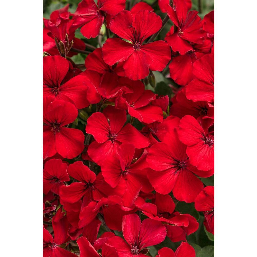 Proven Winners Timeless Fire Geranium Pelargonium Live Plant Red