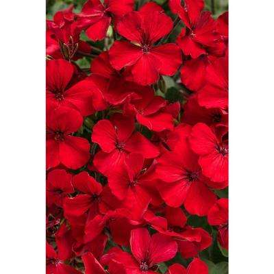 Timeless Fire Geranium (Pelargonium) Live Plant, Red Flowers, 4.25 in. Grande, 4-pack