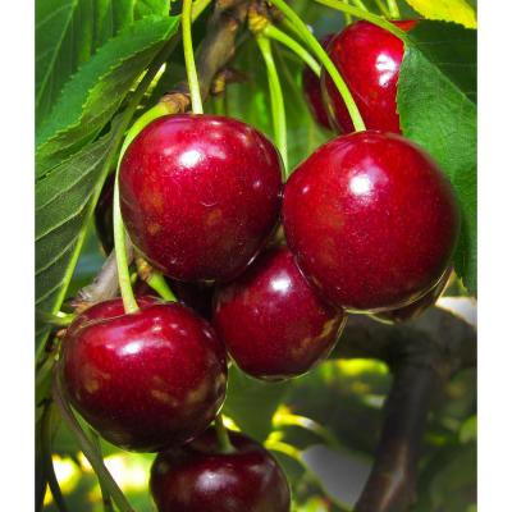 Van Cherry Tree Bare Root