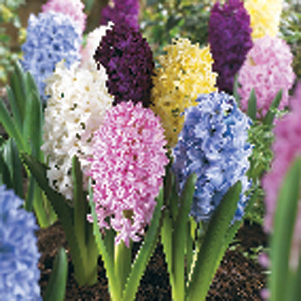 null Hyacinth Mixed Dormant Bulbs (20-Pack)