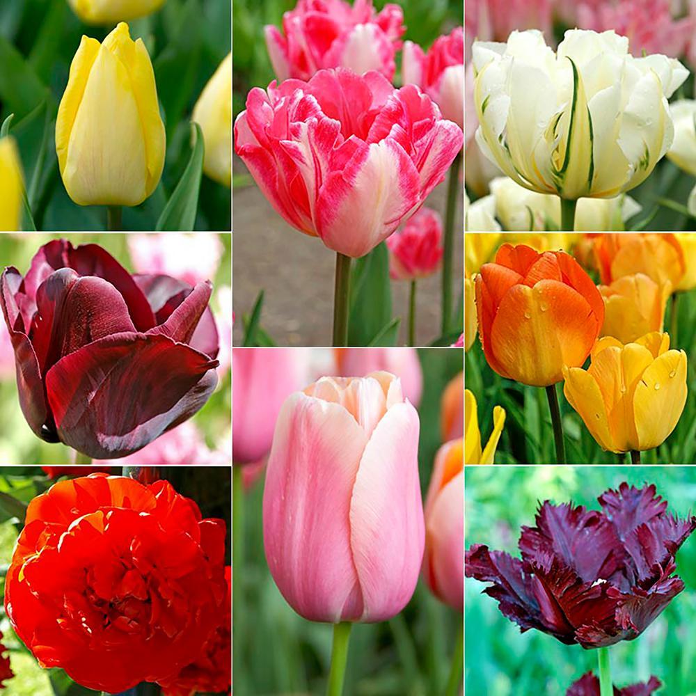 Tulipmania Tulip Bulb Mixture (50-Pack)
