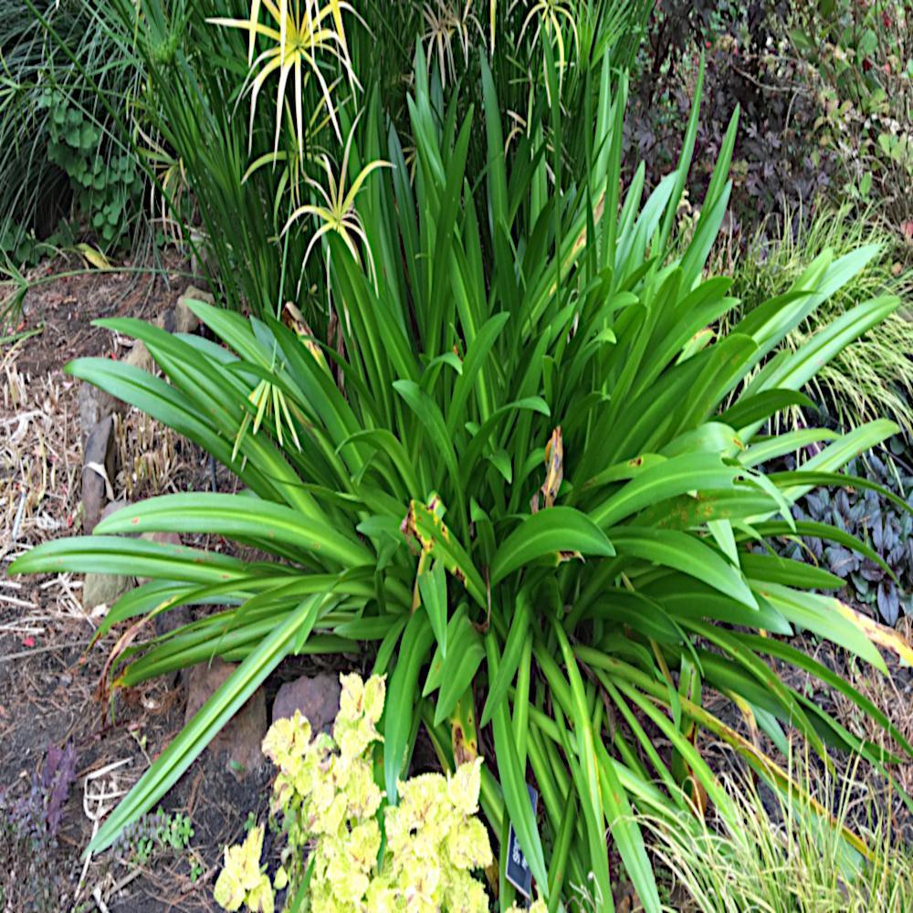 1 Gal. Mondo Grass Plant