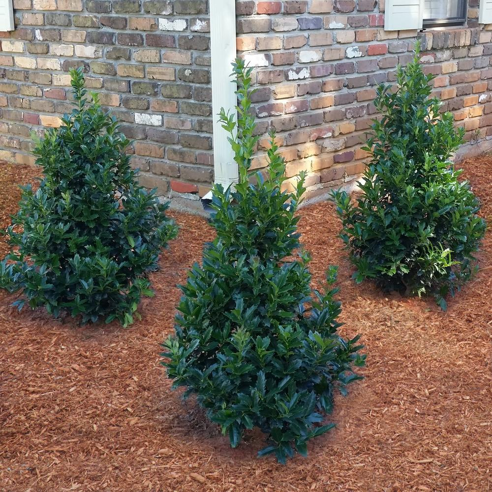 Southern Living Plant Collection 3 Gal Oakland Holly 3 Gallon Evergreen Live Plant