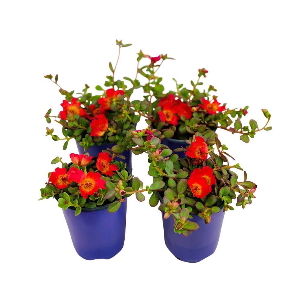 1.38 Pt. Purslane Plant Red Flowers in 4.5 In. Grower's Pot (4-Plants)