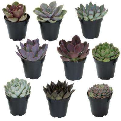 3.5 in. Echeveria Collection (9 PK)
