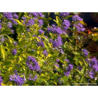 1 Gal. Sunshine Blue II Bluebeard (Caryopteris) Live Shrub, Blue Flowers and Bright Yellow Foliage