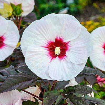 Hibiscus Garden Plants Flowers Garden Center The Home Depot