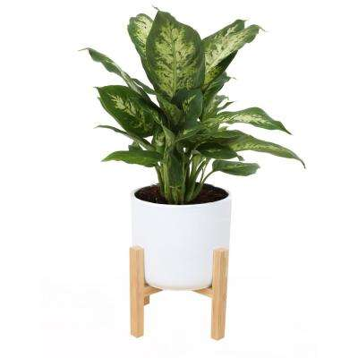 6 in. Dieffenbachia Plant in Mid Century White Planter