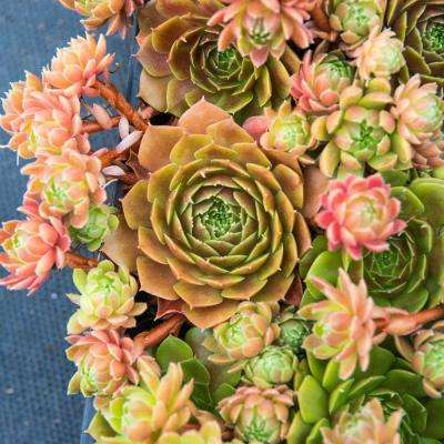 2 in. Pot Rubikon Hens and Chicks Sempervivum Pink Flowers with Green Foliage Live Pernenial Plant (1-Pack)