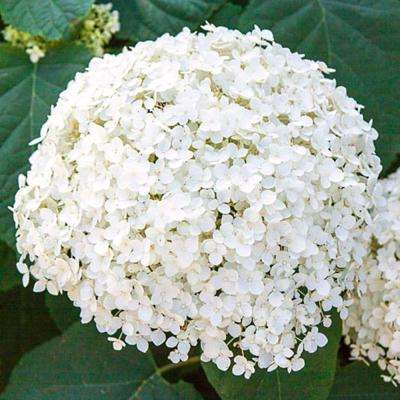 2 in. Pot Annabelle Hydrangea, Live Deciduous Plant, White Flower with Green Foliage (1-Pack)
