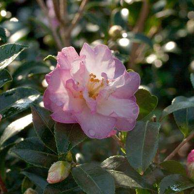 2 Gal. October Magic Orchid Camellia(sasanqua) - Live Evergreen Shrub with White-blush Blooms that taper to Pink Edges