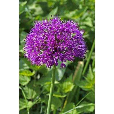 Persian Blue Allium (5-Pack)