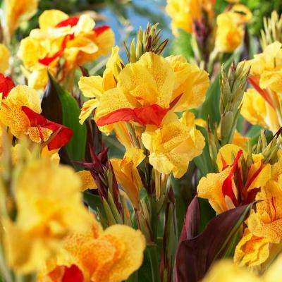 Red and Yellow Canna Cleopatra Bulbs (5-Pack)