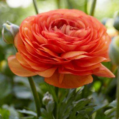 Butter Cups Bulbs Ranunculus Double Tangerine (Set of 25)