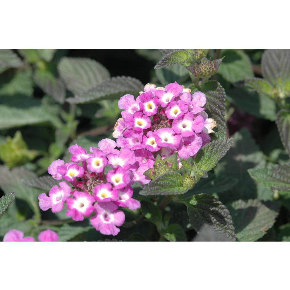 1 Qt. Purple Lantana Plant in Grower Pot (8-Pack)