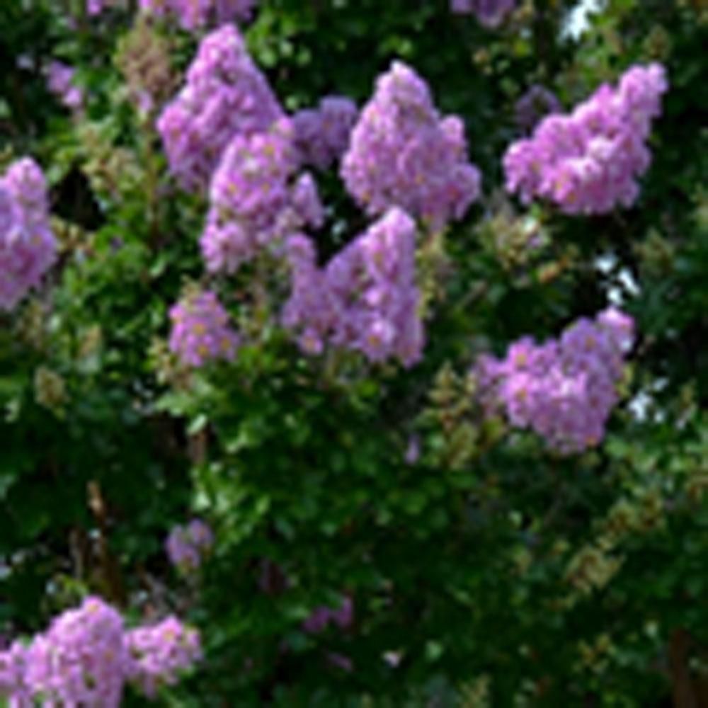 3 Gal. Muskogee Lavender Crape Myrtle Shrub