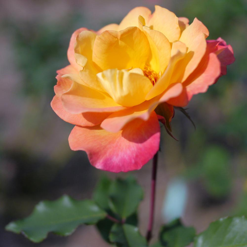 Mea Nursery All-Time Favorites RIO Samba Hybrid Tea Rose with Pale Yellow to Dark Pink Flowers was $25.98 now $10.49 (60.0% off)