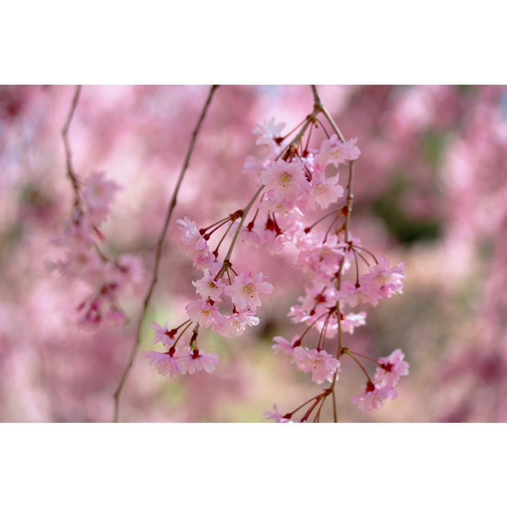 Online Orchards Double Blossom Pink Weeping Cherry Tree Bare Root
