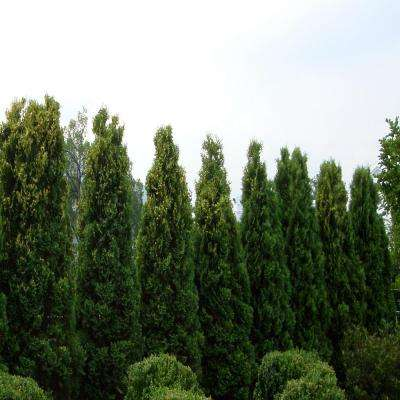 3 Gal. 2 ft. Tall Emerald Green Arborvitae Plant