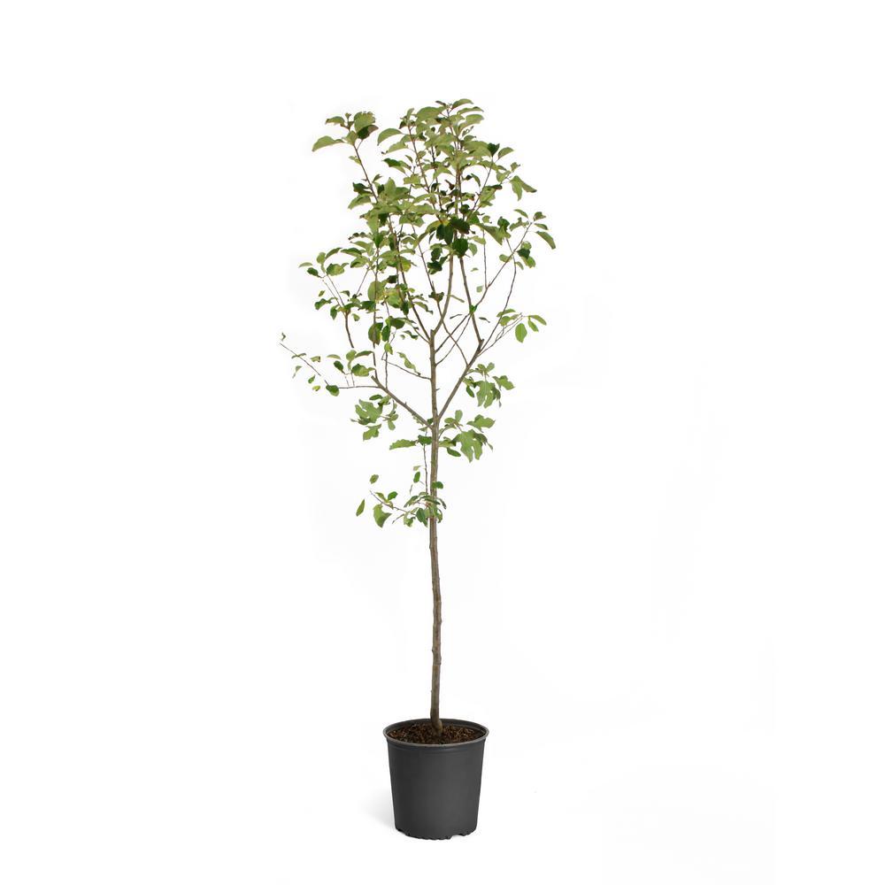 5 Gal. Honeycrisp Apple Tree