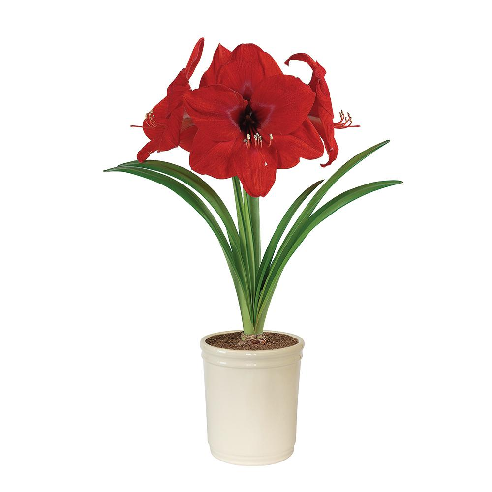 Amaryllis red lion bulb in cream planter hoh17 01 the for Amaryllis planter bulbe