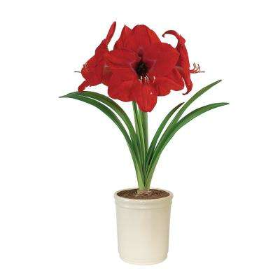 Amaryllis Red Lion Bulb in Cream Planter