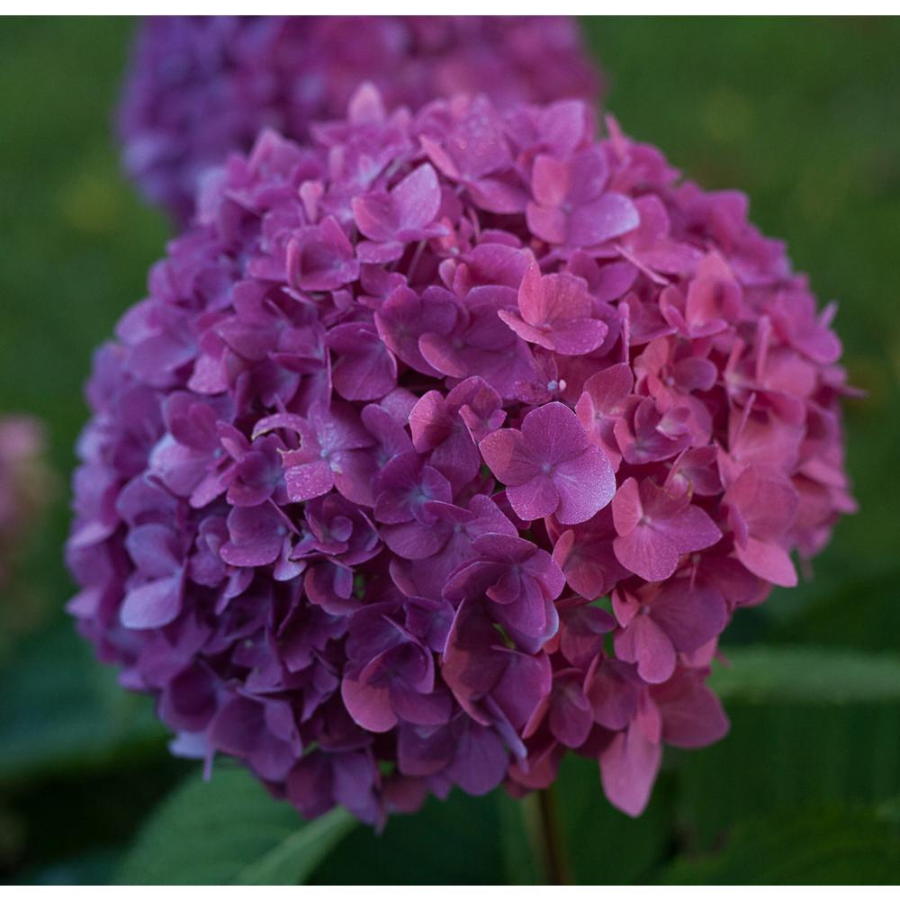 Proven Winners Proven Winners 1 Gal. Let's Dance Rave Reblooming Hydrangea (Macrophylla) Live Shrub in Purple or Pink Flowers