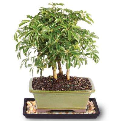 1 60 To 50 F Brussel S Bonsai The Home Depot