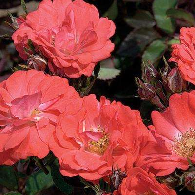 2 Gal. Coral Rose - Live Re-Blooming Groundcover Shrub